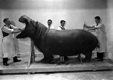 Taxidermy Hippo
